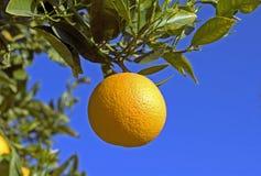 Sinaasappel op Boom Stock Afbeelding