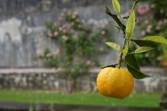 Sinaasappel op de Boom Stock Afbeelding