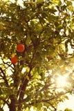 Sinaasappel op de boom; Frankrijk Stock Fotografie