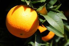 Sinaasappel op een boom Stock Afbeeldingen