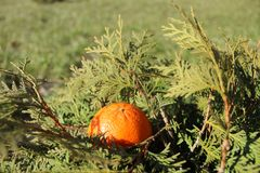 Sinaasappel op een struik royalty-vrije stock afbeelding