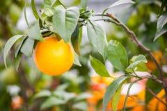 Sinaasappel op een tak Royalty-vrije Stock Foto