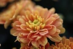 Sinaasappel weinig macroachtergrond van de mumbloem Royalty-vrije Stock Fotografie