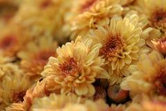 Sinaasappel weinig macroachtergrond van de mumbloem Royalty-vrije Stock Afbeelding