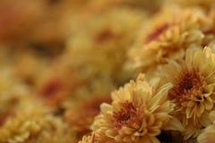 Sinaasappel weinig macroachtergrond van de mumbloem Royalty-vrije Stock Foto's
