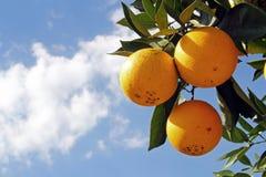 Sinaasappelen in boom Stock Foto's