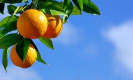 Sinaasappelen die boom hangen Stock Foto's