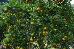 Sinaasappelen die boom hangen Royalty-vrije Stock Afbeeldingen