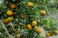 Sinaasappelen die boom hangen Royalty-vrije Stock Foto