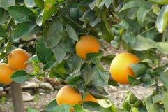 Sinaasappelen die op de boom groeien Stock Foto's