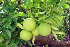 Sinaasappelen die op de tak rijpen Stock Fotografie
