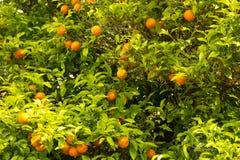 Sinaasappelen die op een boom in Dubrovnik, Kroatië groeien stock foto's