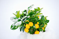 Sinaasappelen en Sneeuw Stock Foto