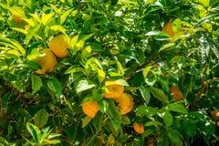 Sinaasappelen in jardines, koninklijke tuin van Alcazar DE los Reye royalty-vrije stock foto