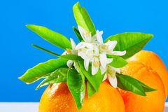 Sinaasappelen met oranje bloesembloemen op blauw Royalty-vrije Stock Afbeeldingen