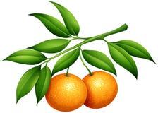 Sinaasappelen met stam en bladeren vector illustratie