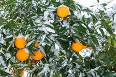Sinaasappelen onder de sneeuw citrusvruchten, oranje boom in de sneeuw royalty-vrije stock afbeeldingen