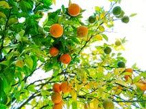 Sinaasappelen op boom royalty-vrije stock foto's