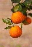 Sinaasappelen op de Boom Stock Foto's
