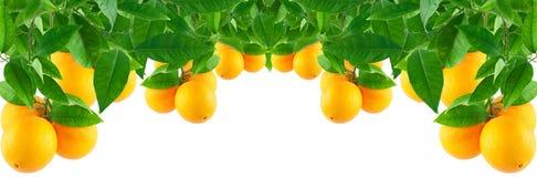 Sinaasappelen op een boom Stock Foto