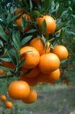 Sinaasappelen op een boom royalty-vrije stock fotografie