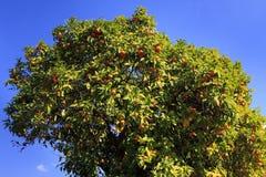 Sinaasappelen op een Boom Stock Afbeeldingen