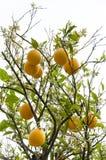 Sinaasappelen op een boom in de lente Stock Foto