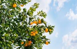 Sinaasappelen op een boom met sneeuw wordt behandeld die stock illustratie