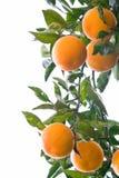 Sinaasappelen op een tak die op wit wordt geïsoleerda Royalty-vrije Stock Foto