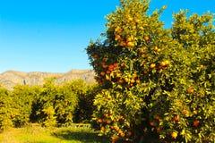 Sinaasappelen van Spanje stock fotografie