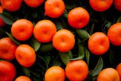 Sinaasappelenvruchten bij mandarijnbomen Royalty-vrije Stock Afbeeldingen