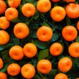 Sinaasappelenvruchten bij mandarijnbomen Stock Afbeeldingen