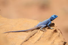 A Sinai Agama Stock Photo