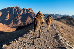 Sinai bedouins and his camels Royalty Free Stock Images