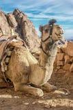 Sinai. A trip to sinai desert royalty free stock photo