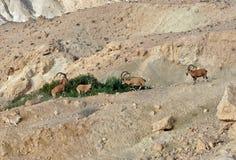 Sinaitica del nubiana del Capra del cabra montés de Nubian en Sde Boker Viejos varones que luchan Desierto del Néguev de Israel m imagenes de archivo