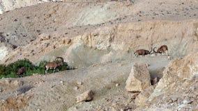 Sinaitica del nubiana del Capra del cabra montés de Nubian en Sde Boker Viejos varones que luchan en montañas foto de archivo libre de regalías