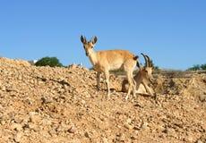 Sinaitica do nubiana da cabra do íbex de Nubian em Sde Boker Íbex e fêmea novos Fotografia de Stock Royalty Free