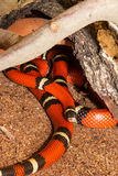 Sinaloan Milk Snake in captivity Royalty Free Stock Images