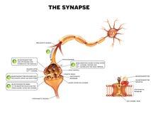 sinapsi Fotografia Stock