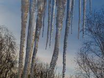 Sincelos enormes do cair do gelo do telhado contra o céu azul e as copas de árvore fotografia de stock royalty free