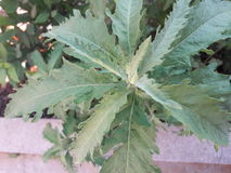 Sincieus. Plant  fasse Ambroise in meknes city Royalty Free Stock Images