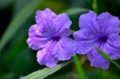 Sind Spezies der blühender Pflanze in den Akanthusgewächsen Stockbild