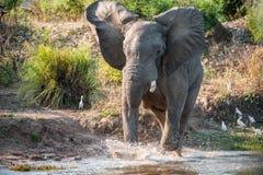 Sind verärgert Laufender afrikanischer Savannenelefant (der afrikanische Buschelefant (Loxodonta africana) auf Fluss Lizenzfreies Stockbild