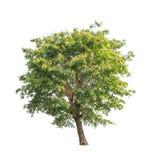 Sindora siamensis, tropical tree in Thailand Stock Photo