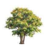 Sindora siamensis, tropical tree in Thailand Stock Photos