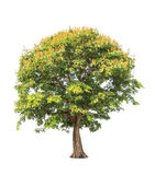 Sindora siamensis, tropical tree in Thailand Stock Images