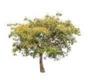 Sindora siamensis, tropical tree in Thailand Royalty Free Stock Photo