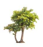 Sindora siamensis, tropical trees in Thailand Stock Photo