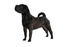 Sine Shar-Pei Standing Stock Photos